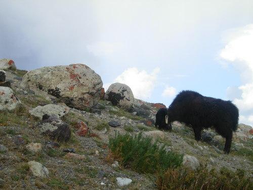 Yak calf & lichens